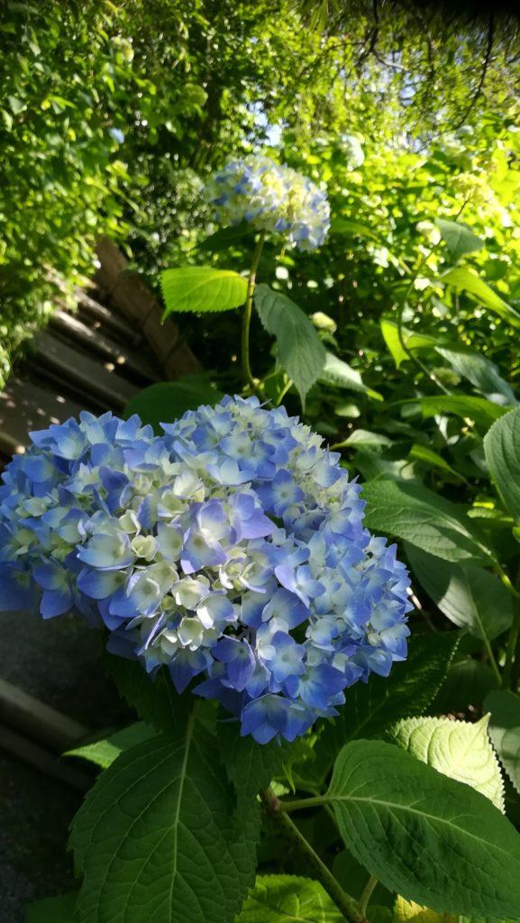 北鎌倉の明月院 丸窓 青白いアジサイ