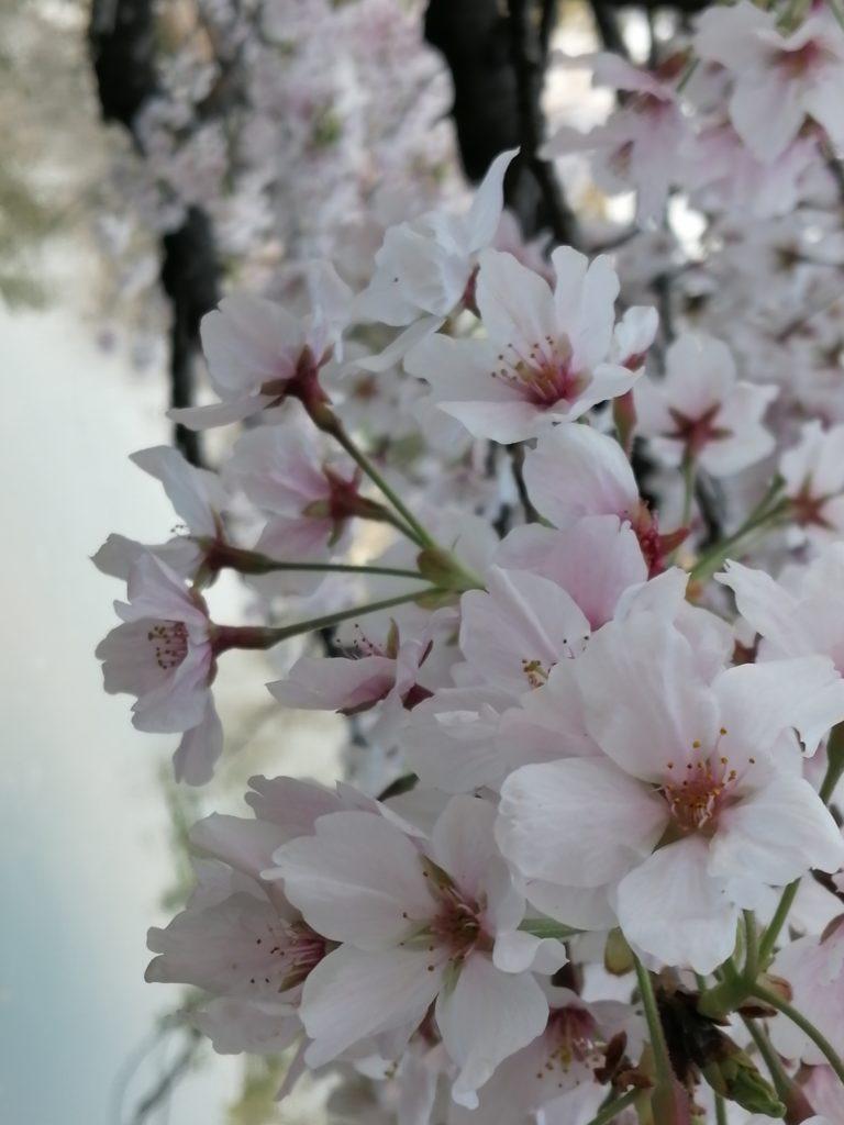 4月 満開の桜の下でお花見を楽しむ 安城公園 4月 満開の桜の下でお花見を楽しむ 安城公園 安城公園 の 満開の 桜 ソメイヨシノ