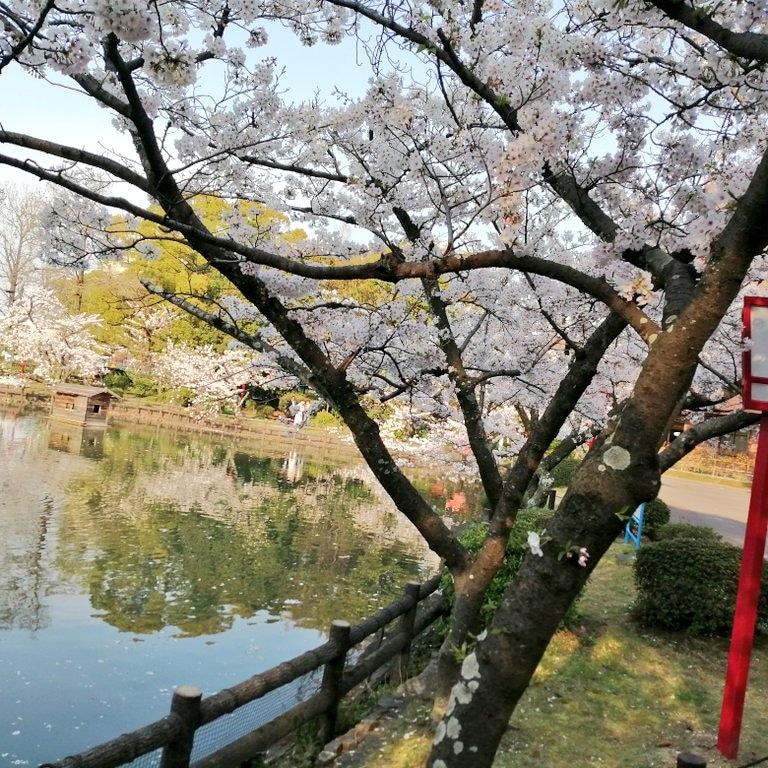 安城公園 の 満開の 桜 ソメイヨシノ