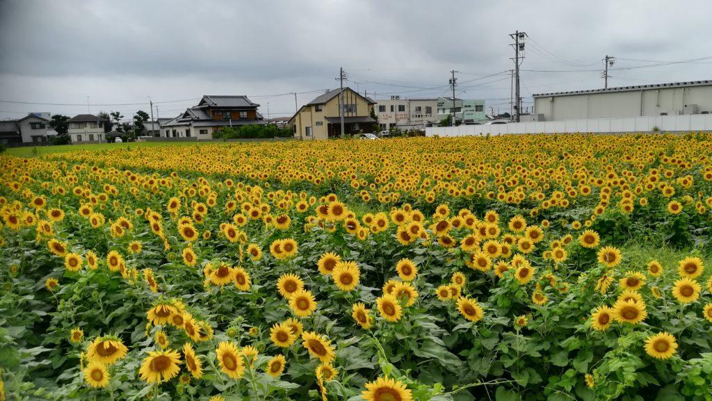 和泉のひまわり畑