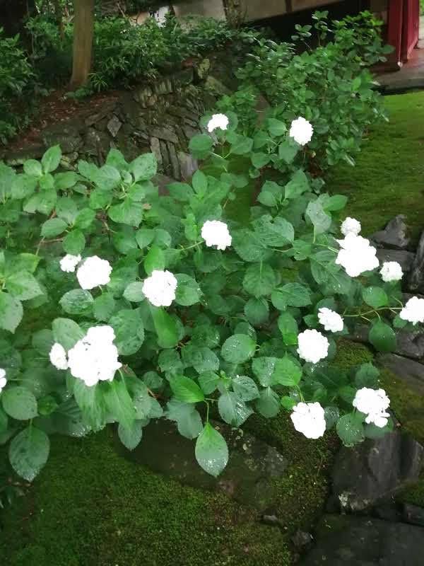 白いアジサイの花が咲いている