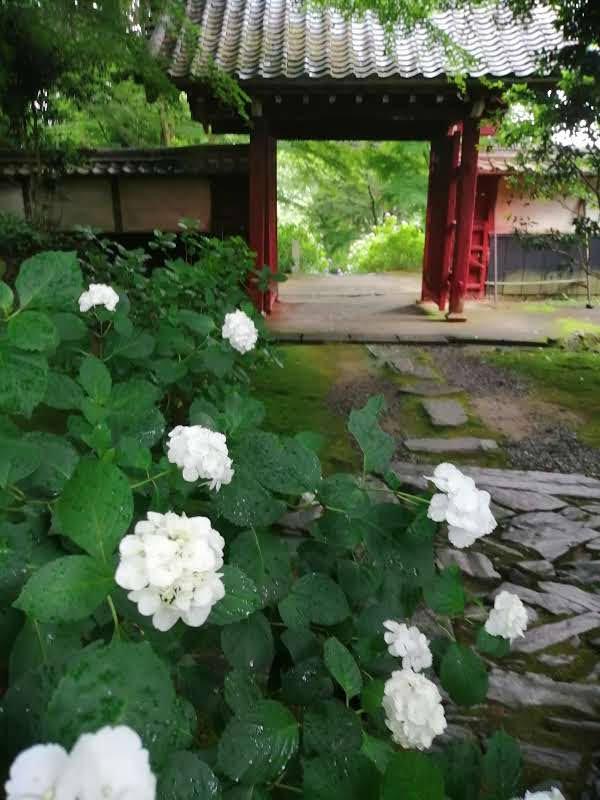 山門の手前があり、その手前に白いアジサイの花が咲いている