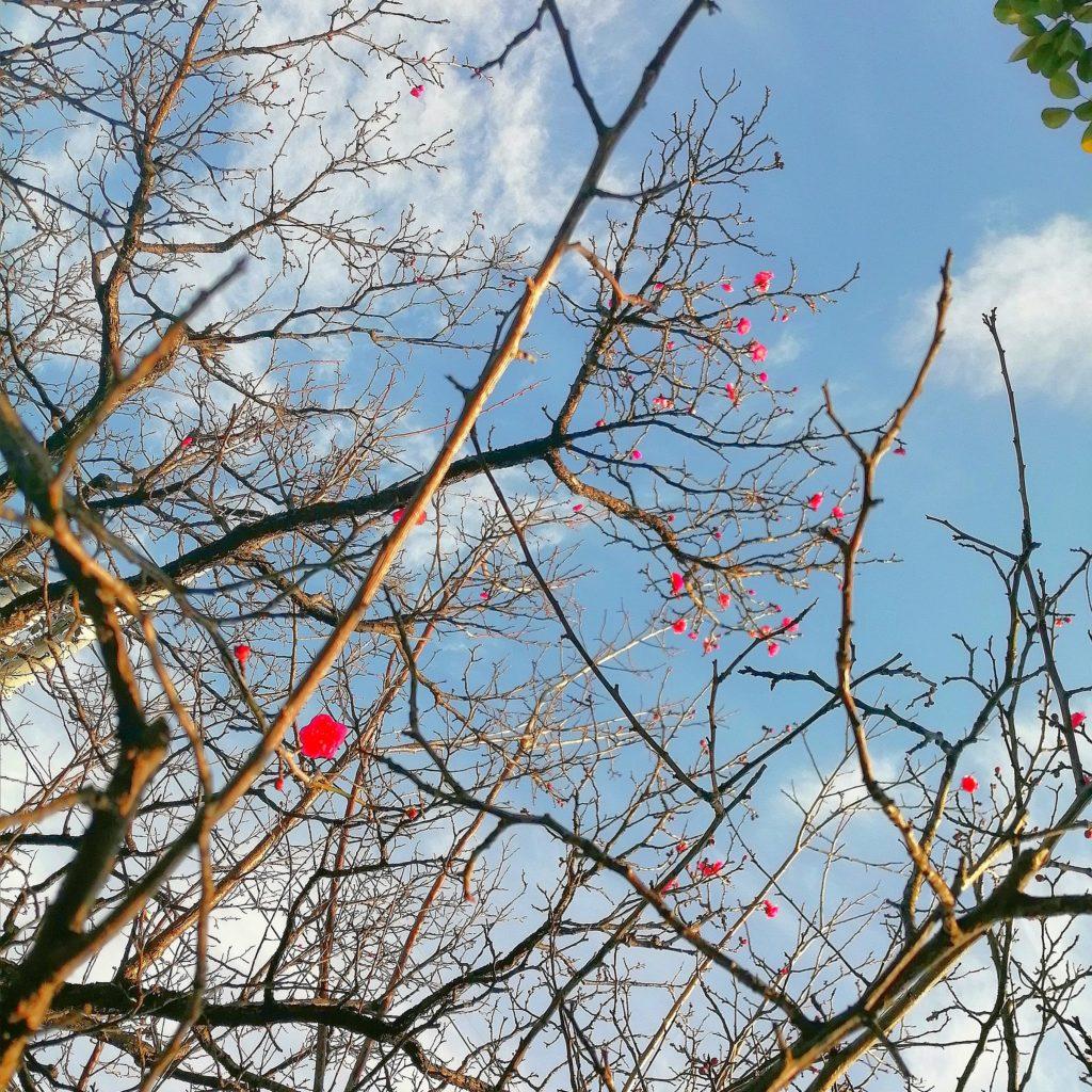 梅の花が咲いているがちらほら 安城