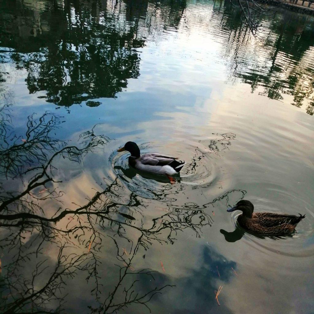 泳いでいる二羽の鴨