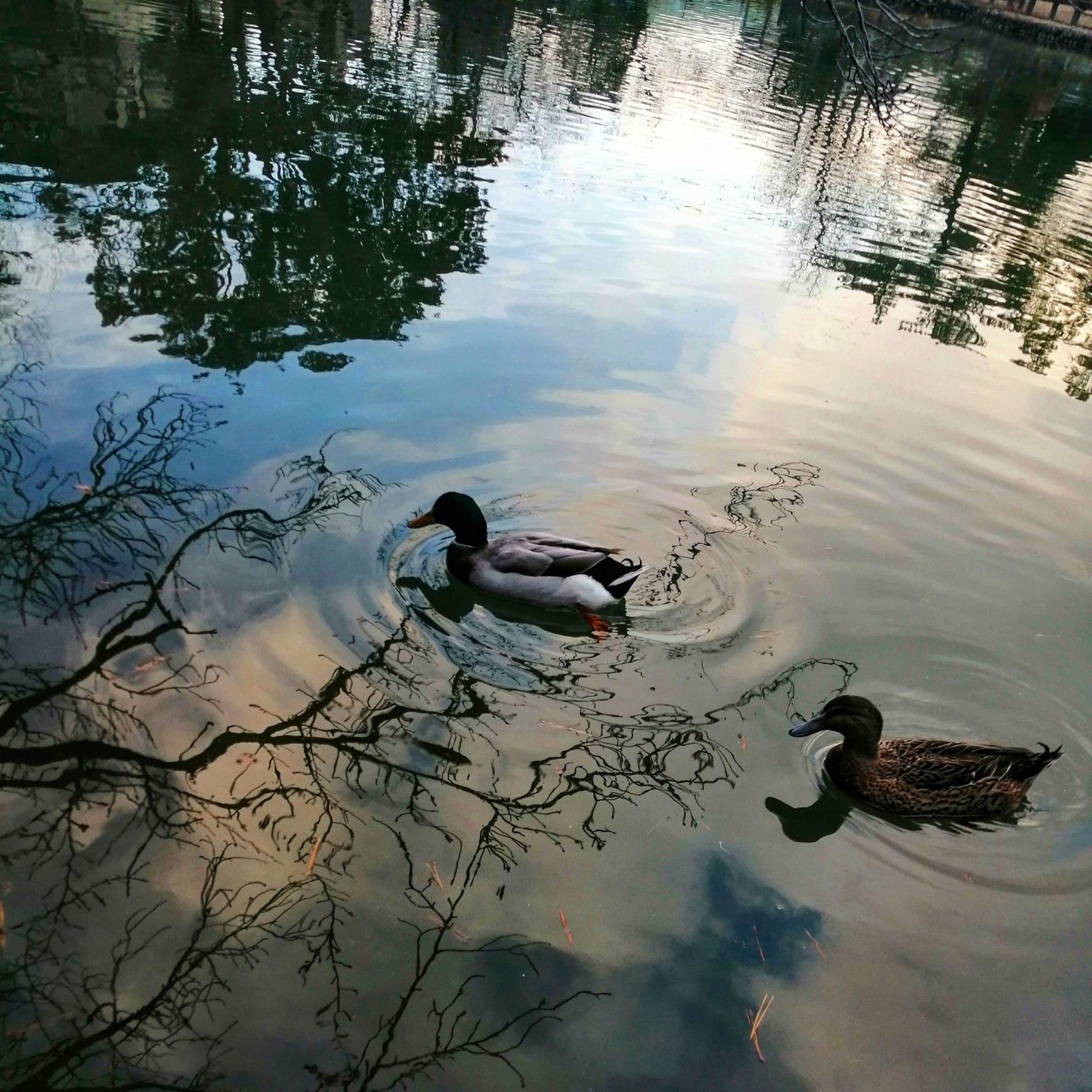 二匹の鴨が池の上を泳いでいます。