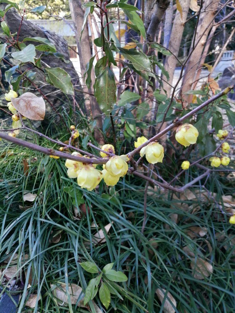 梅の花が咲いているのがちらほら見受けられるように 蝋梅 愛知縣護国神社