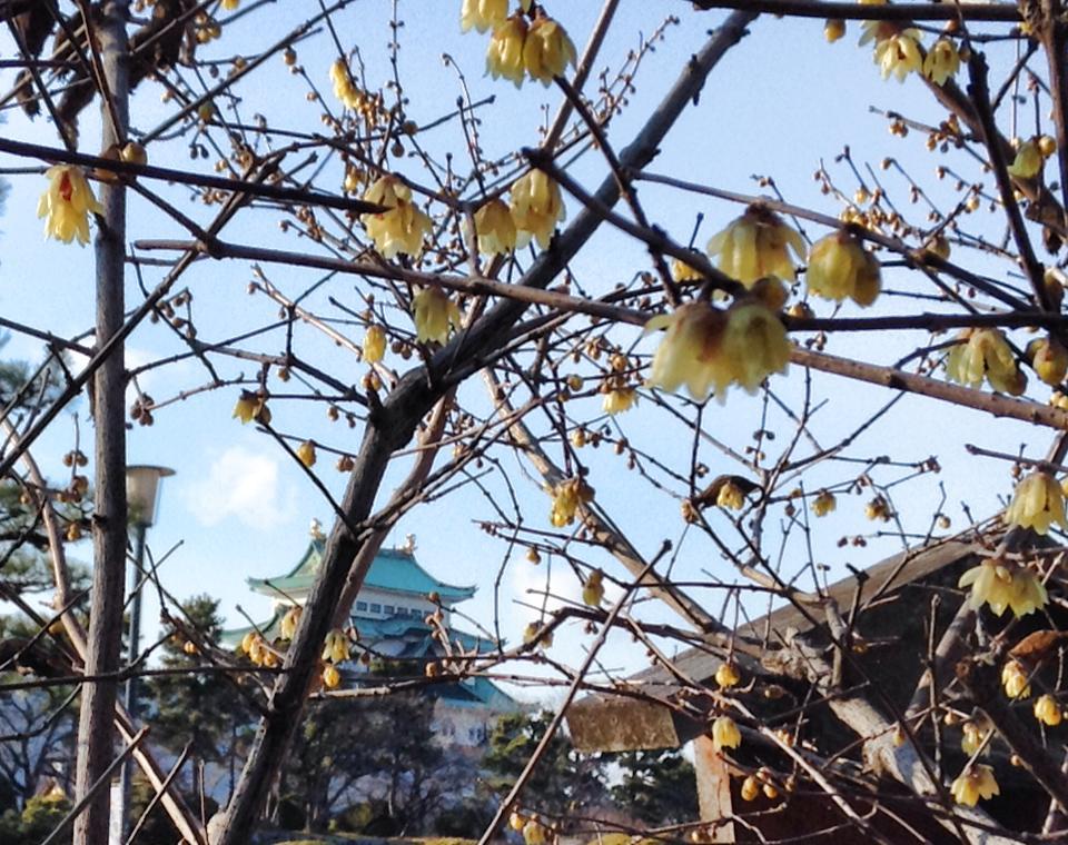 蝋梅の花と名古屋城を眺めながら お茶を