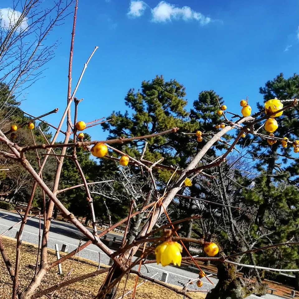 蝋梅 の黄色い花 京都御所 (2018年2月6日)