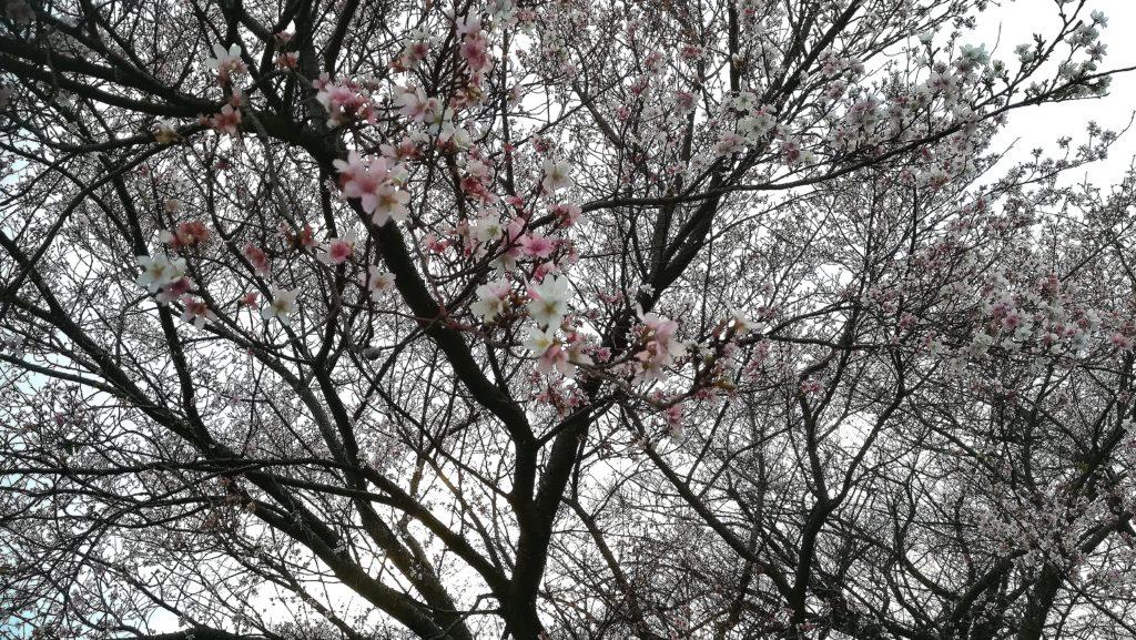 明治用水の流れる安城市篠目では11月に 四季桜が満開に なります 。