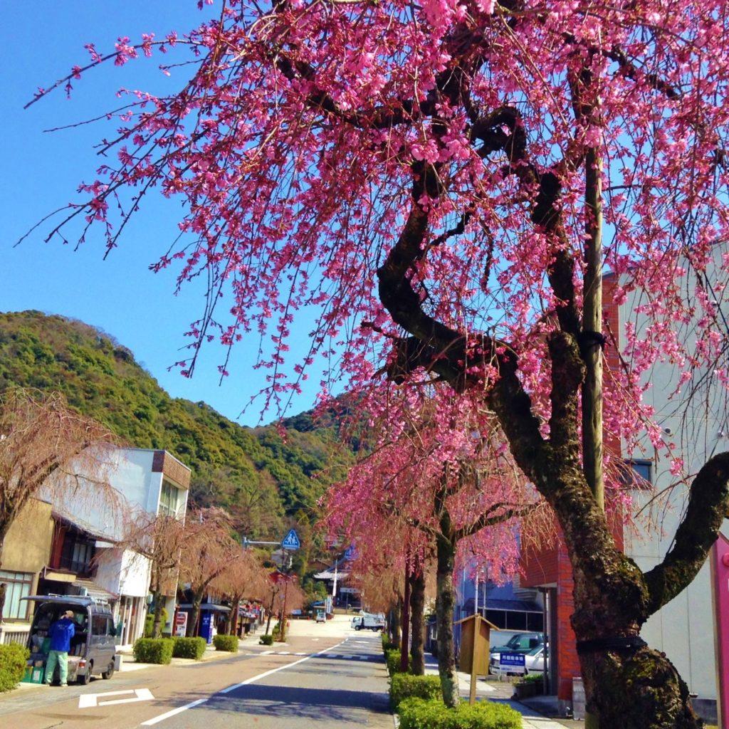 伊奈波神社前のしだれ梅が満開 22日