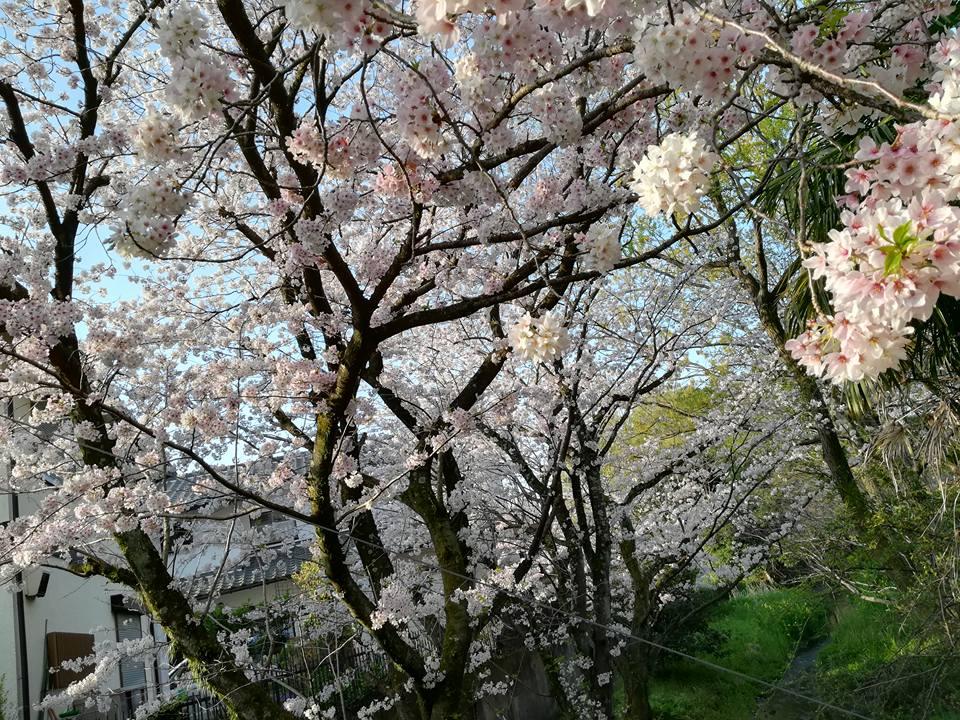 源兵衛川の桜